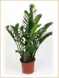 Store indendørs planter